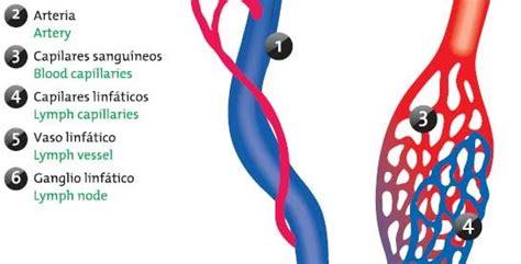 Sistema linfático Icarito
