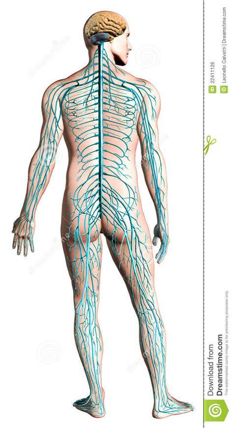Sistema Nervioso Humano   SEONegativo.com