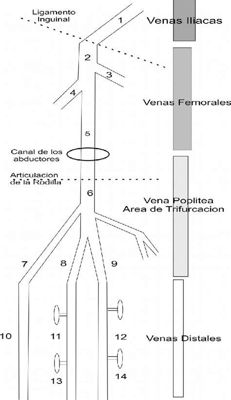 Sistema venoso Profundo 1, Vena iliaca externa; 2, vena ...