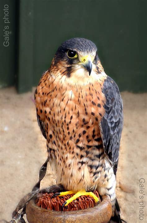 Small bird of prey. | I don t like to see birds kept like ...
