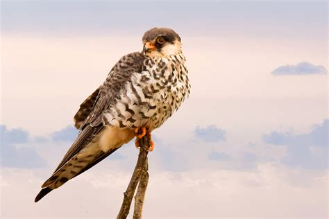 Small Bird of Prey perched on sticks image   Free stock ...