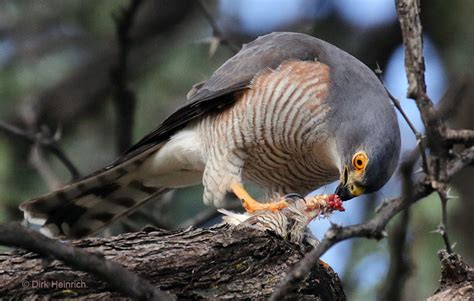 Small birds of prey in Namibia's cities | Namibia Outdoor