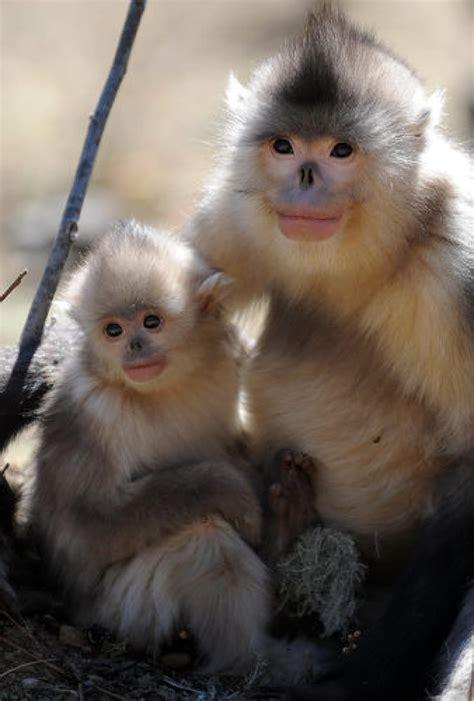 Snub nosed monkey   Photos   The World s Ugliest Animals ...