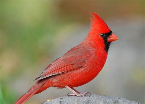 Songbirds: North Carolina s State Bird How to Identify the ...
