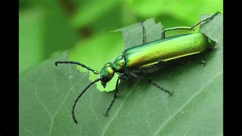 Sonido De Insectos[Mosquito][Zancudo][Desconocido][Zumbido ...
