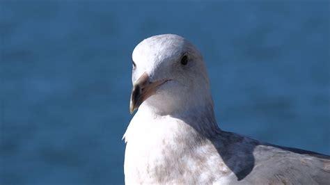 Sonidos De Pájaros: Gaviotas De Cerca Comiendo Y Cantando ...