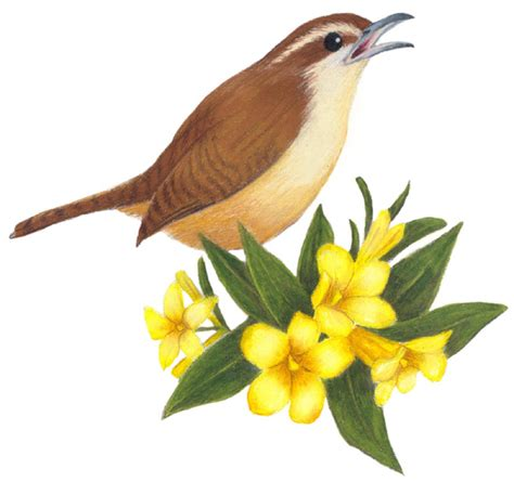 South Carolina State Bird and Flower: Carolina Wren ...