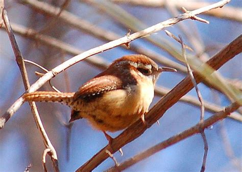 South Carolina State Bird | Carolina Wren