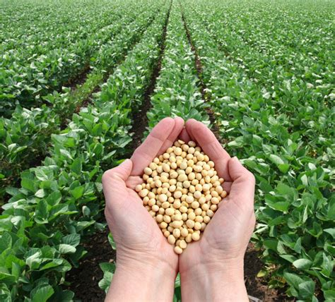 Soybean A wonder crop   THE TIMES OF AFRICA