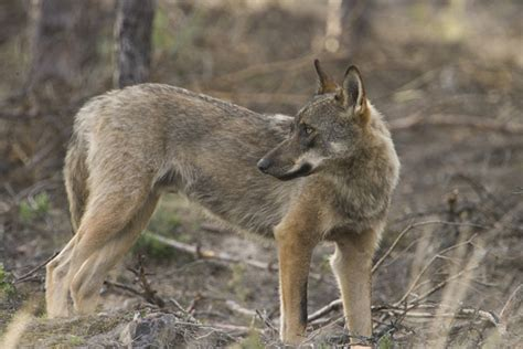 Spanish wolves prefer wild roe deer to domestic animals ...