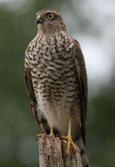 sparrow hawk bird of prey | ... register home bird ...