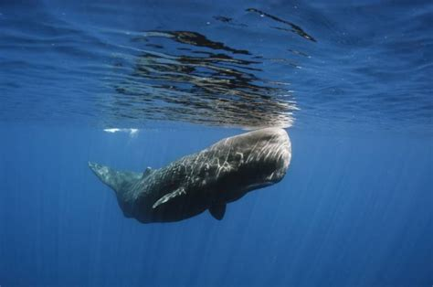 Sperm Whale  Physeter macrocephalus  | The Earth Times ...