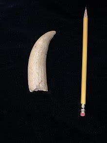 Sperm whale   Wikipedia