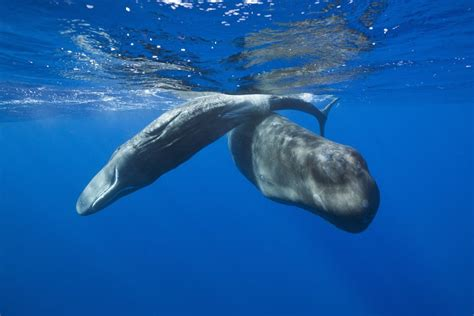 Sperm Whales  Physeter macrocephalus  posters & prints by ...