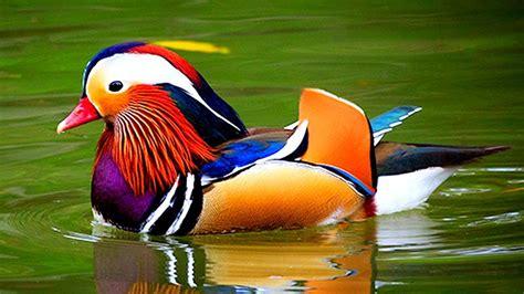 সবথেকে সুন্দর ১০টি হাঁস | Exotic Sea Ducks: Top 10 Most ...