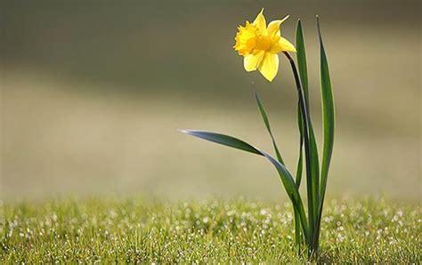 معلومات ممتعة عن زهرة النرجس بالصور   سحر الكون