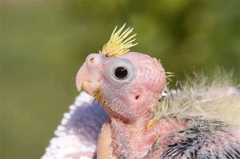 Попугай корелла: фото, говорит, пол, клетка, уход, сколько ...