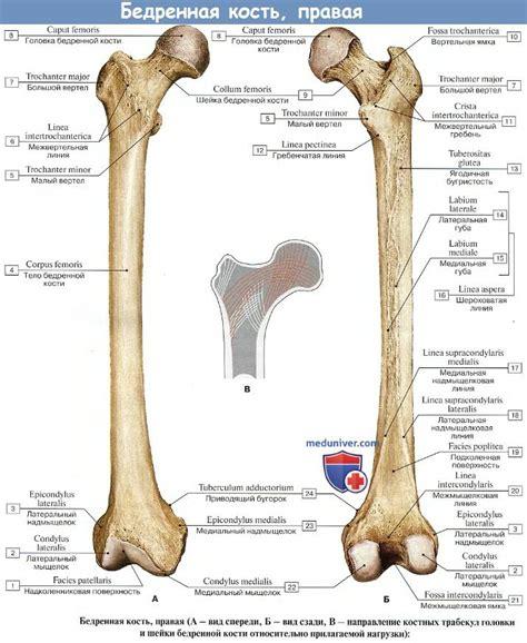 Анатомия : Бедренная кость