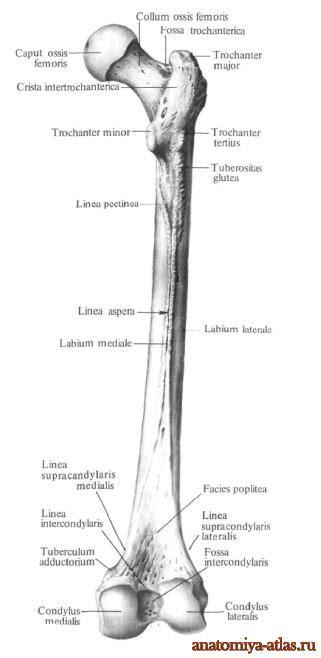 Бедренная кость. | Анатомия в картинках. Атлас анатомии ...