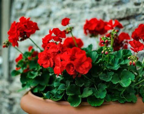 ゼラニウムの育て方は?種類や水やりのコツ、肥料・用土など苗から鉢植えで楽しめるゼラニウムの栽培方法   ガーデニング ...