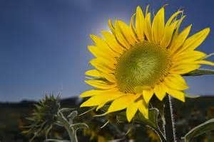 state flowers   kansas   wild native sunflower | Kansas ...