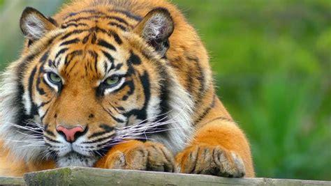 Stock video of royal bengal tiger  panthera tigris , is ...