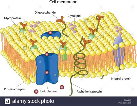 structure of the cell membrane Stock Vector Art ...
