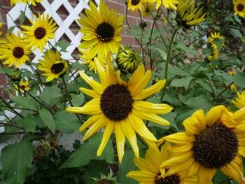 Sunflower: Pictures, Flowers, Leaves and Identification ...