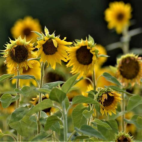 Sunflower Seed   Helianthus Annuus Wildflower Seeds