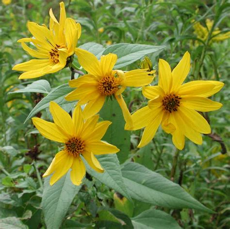 Sunflower, Wild  Helianthus spp.    17   Wild Flowers of ...
