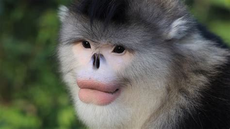 Survival of the Snub Nosed Monkeys | China Icons – Your ...