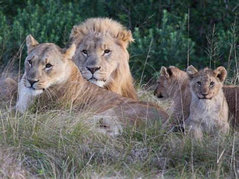 Suspected rhino poachers eaten by lions after breaking ...
