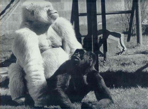 'Virunga', la conmovedora vida íntima de una gorila del ...