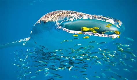 Swimming with Ningaloo s whale sharks | Australian Traveller