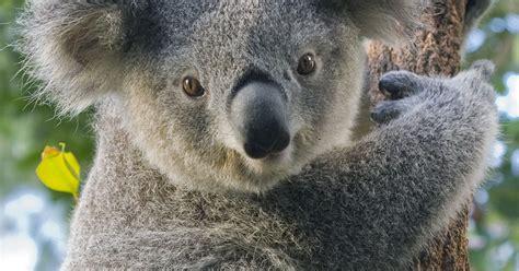 Sydney Zoo | Koala