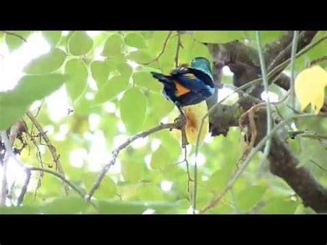 Tangara Arcoiris  Tangara Seledon    YouTube