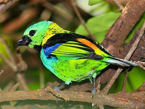 Tangará arcoíris | Wiki Reino Animalia | FANDOM powered by ...