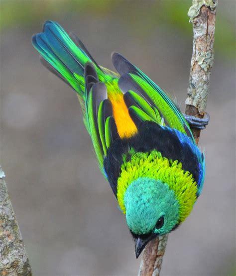 Tangara seledon. Maravillas de la naturaleza. | ANIMALES ...