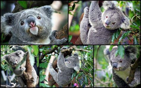 Taronga Zoo, Mosman, NSW, Australia | Koala, Koala bear ...