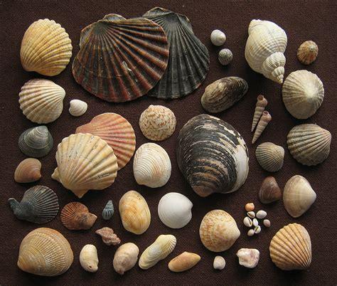 Taxonomy of the Bivalvia  Bouchet, Rocroi, Bieler, Carter ...