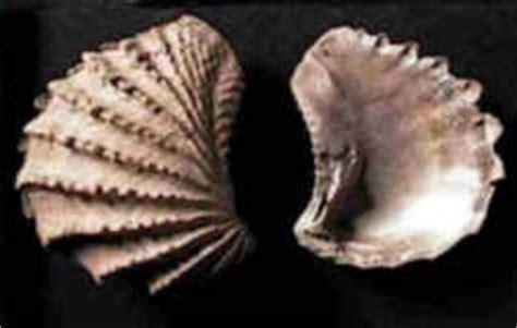Tennessee State Fossil: Bivalve Mollusc  Pterotrigonia ...