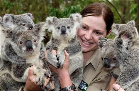 Test tube baby koalas unveiled   Technology & science ...