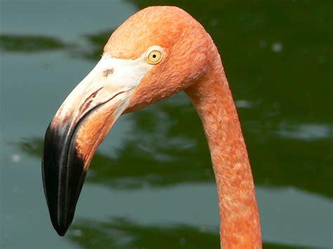 The arcuate bill of this American Flamingo  Phoenicopterus ...