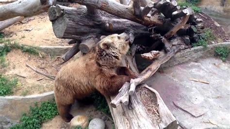 The Barcelona Zoo bear   YouTube