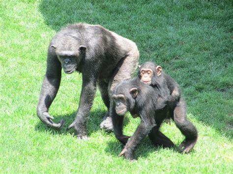 the #bioparc chimpanzee family outing, #valencia ...