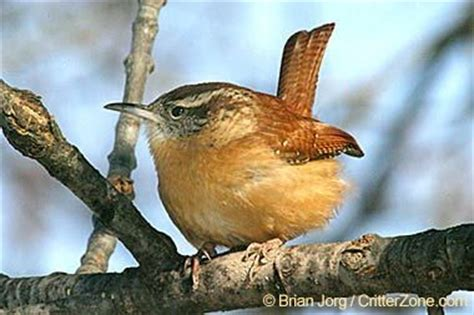 The Carolina wren  Thryothorus ludovicianus  was ...