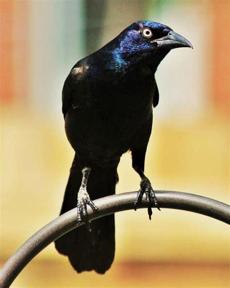 The Common Grackle | Grackle, Beautiful birds, Bird