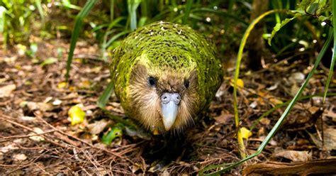 The Critically Endangered Kakapo Parrot Is Having One ...