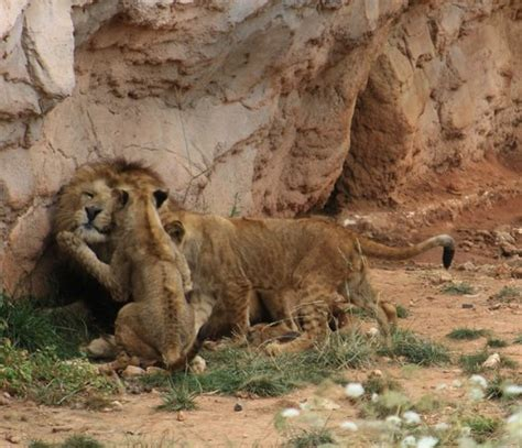 The Cubs playing with the Lion   Picture of Zoo de Rabat ...