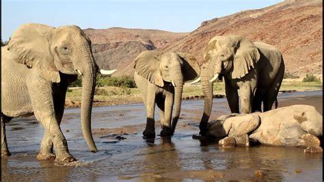 The Desert Elephant Trust, Elephants mourning!www ...